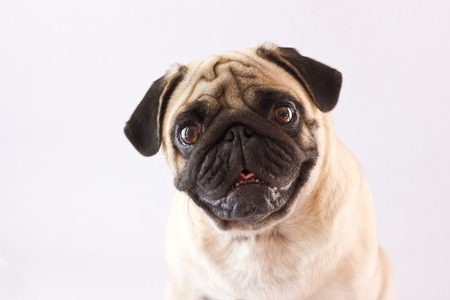 Sitting dog pug with the big eyes isolated