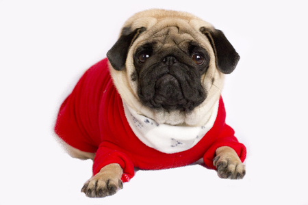Very cute pug dog in a red New Year dress. Looking with sad eyes
