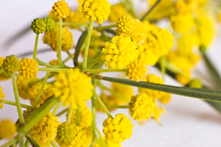 Spring yellow flowers of the mimosa. Macro, selective focus