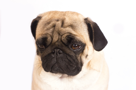 The pug dog sits and looks with the sad big eyes. Stock Photo
