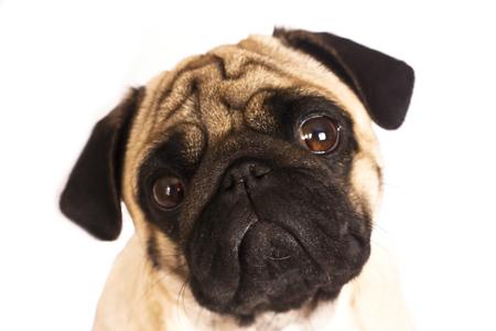 The pug dog sits and looks directly into camera. Sad big eyes. Stock Photo
