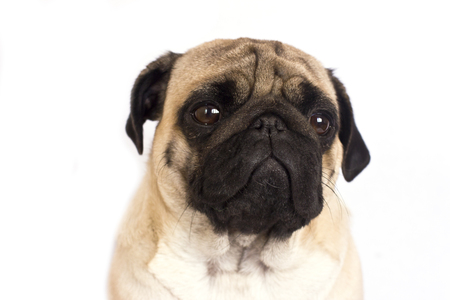 The pug dog sits and looks directly into camera. Sad big eyes. Stock Photo