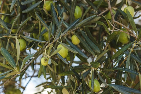 Ripe green and black olives grow on a tree