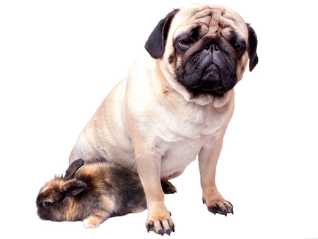 Very sad pug and rabbit isolated on a white background Banque d'images