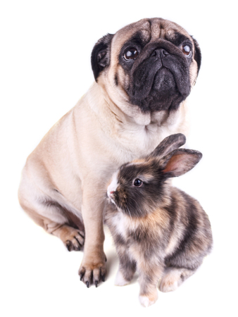 Dog pug and tricolor rabbit on a white background 版權商用圖片