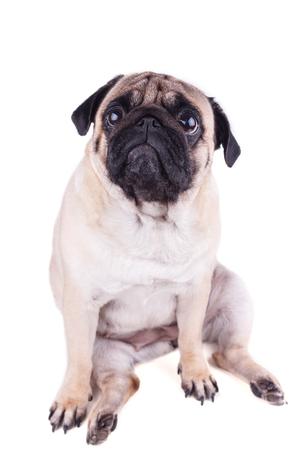 Perro pug triste se sienta y mirando hacia arriba