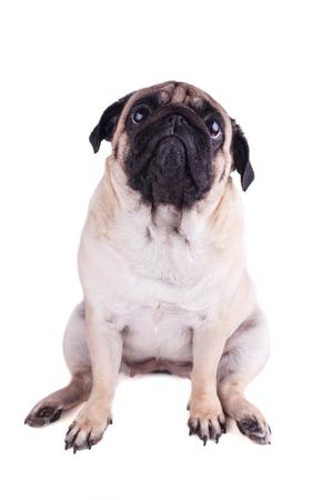 Retrato de perro pug con grandes ojos tristes. Aislado Foto de archivo