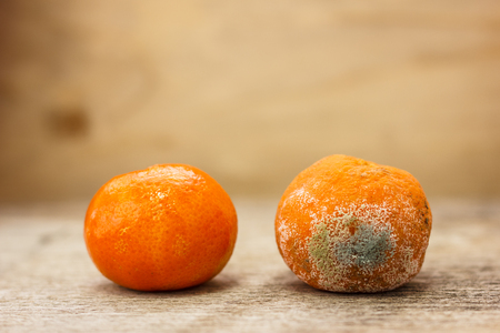 Spoiled moldy rotten tangerine next to ripe and beautiful tangerine wooden table Stock Photo
