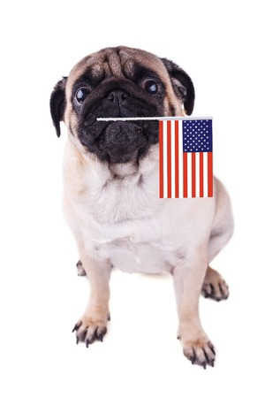 Portrait of pug dog with flag of USA in the mouth. Isolated