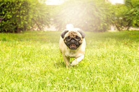 Cheerful pug dog running through the green grass
