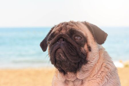 Sad pug dog sits on the beach and looks to the sea. Pug relaxing and chilling out