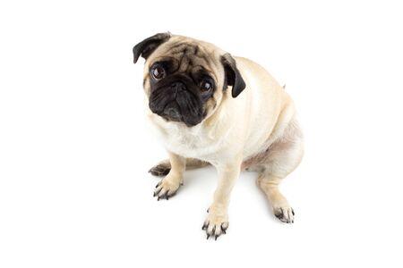 Cute pug dog looking innocent. Very sad dog isolated Zdjęcie Seryjne - 134750492