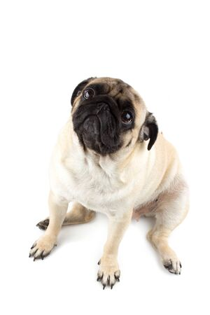 Cute pug dog looking innocent. Very sad dog isolated Zdjęcie Seryjne - 134750493