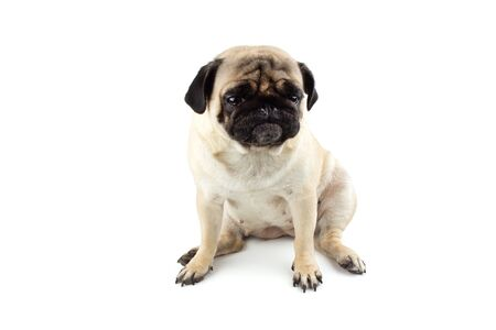 Cute pug dog looking innocent. Very sad dog isolated Zdjęcie Seryjne - 134750496