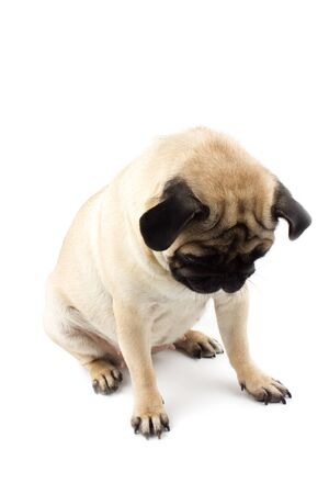 Cute pug dog looking innocent. Very sad dog isolated