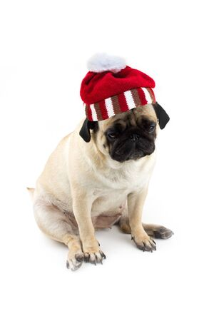 Sad innocent pug dog with red knitted christmas hat of a Santa.