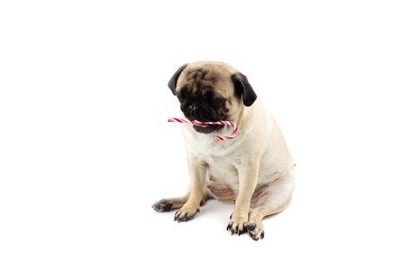 Sad innocent pug dog with red and white twisted christmas candy Zdjęcie Seryjne