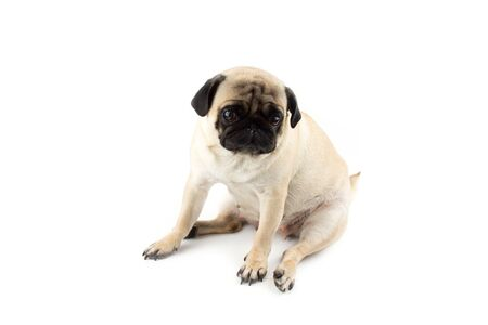 Cute pug dog looking innocent. Very sad dog isolated