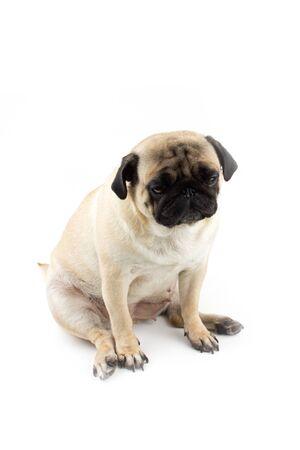 Cute pug dog looking innocent. Very sad dog isolated Zdjęcie Seryjne - 134750591