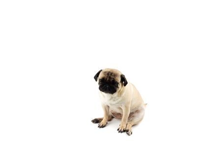 Cute pug dog looking innocent. Very sad dog isolated Zdjęcie Seryjne - 134750601
