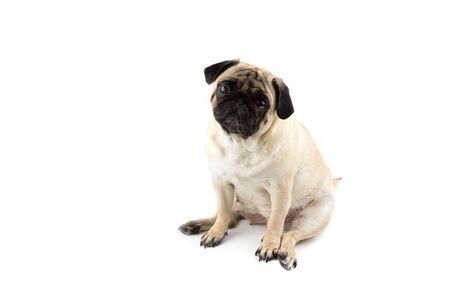 Cute pug dog looking innocent. Very sad dog isolated Zdjęcie Seryjne - 134750603