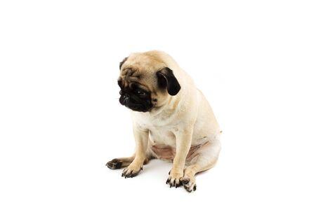 Cute pug dog looking innocent. Very sad dog isolated Foto de archivo