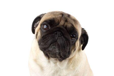 Cute pug dog looking innocent. Very sad dog isolated Zdjęcie Seryjne - 134750608