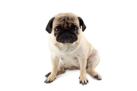 Cute pug dog looking innocent. Very sad dog isolated Zdjęcie Seryjne - 134750618