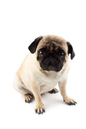 Perro pug lindo que parece inocente. Perro muy triste aislado