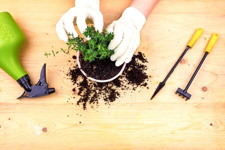Home gardening. Hands with gloves planted thyme bush in a pot of earth.