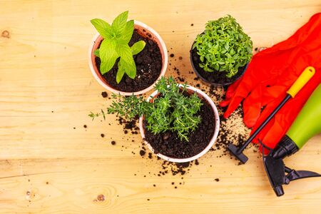 Home gardening. Top view of red gloves, mint, thyme and basil bush in pots, and gardening tools on wooden board. 版權商用圖片