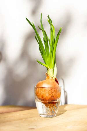 Sprouted green onions in a glass of water. 版權商用圖片