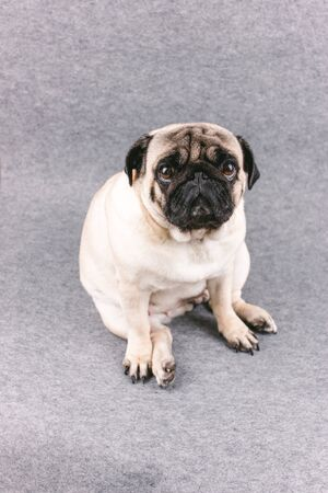Pug dog with sad big eyes sits on a gray background and looks at camera