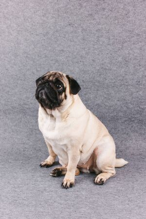 Pug dog with sad big eyes sits on gray background and looks up