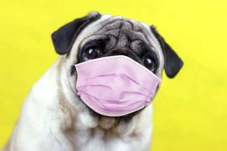 Pug dog with a medical mask and sad big eyes. Quarantine and isolation during coronavirus