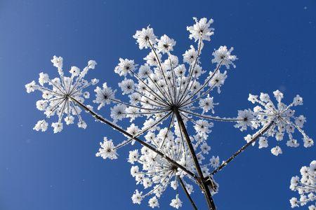 Flowers in hoarfrost Stock Photo