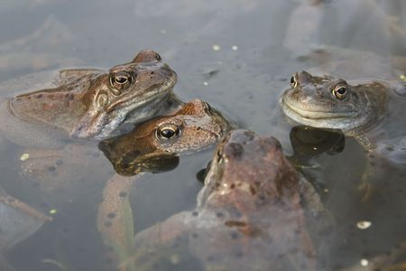 Frogs in a pond Stock Photo - 7800029