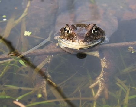 Frogs in a pond Stock Photo - 7800031