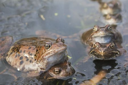 Frogs in a pond Stock Photo - 7800036