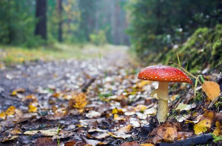 Road to autumn wood and the fly agaric which has grown on it photo