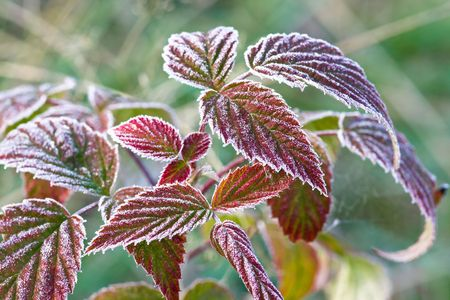 Multi-colored autumn leaves covered with hoarfrost Stock Photo - 8178005