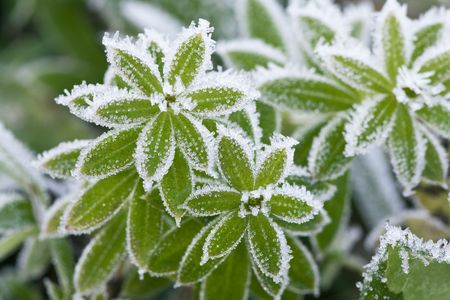 Green grass covered with hoarfrost Stock Photo