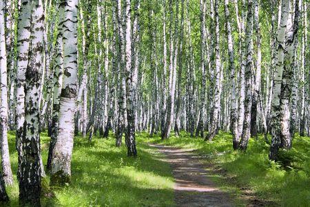 Sunny summer day in a birchwood