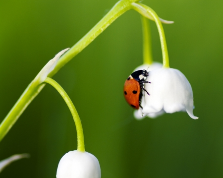 The ladybird creeps on a flower of a lily of the valley photo