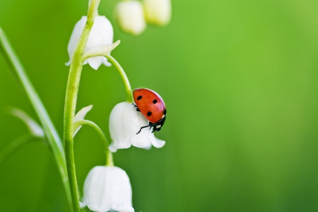 The ladybird creeps on a flower of a lily of the valley