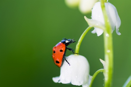 The ladybird creeps on a flower of a lily of the valley 版權商用圖片 - 8583527