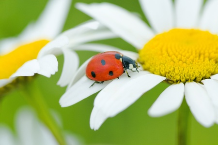 The ladybird creeps on a camomile flower