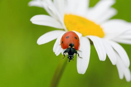 The ladybird creeps on a camomile flower photo