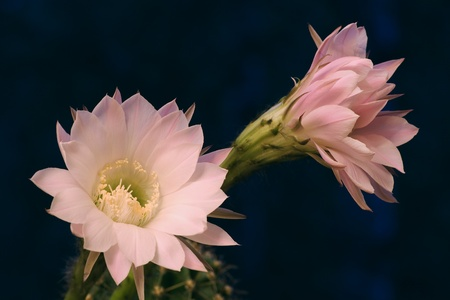 cereus: Pink flowers of a cactus close up
