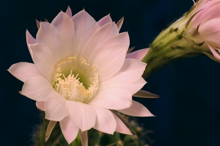 cereus: The cactus has blossomed Stock Photo